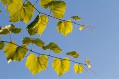 Foglie d'ardore dell'uva contro il cielo blu Fotografia Stock Libera da Diritti