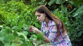 Foglie d'esame della pianta del giovane agricoltore femminile, lavoro sul campo sul tramonto video d archivio