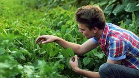 Foglie d'esame della pianta del giovane agricoltore, lavoro sul campo sul tramonto stock footage