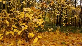 Foglie d'ingiallimento nel parco di autunno Immagine Stock Libera da Diritti