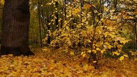 Foglie d'ingiallimento nel parco di autunno Fotografia Stock