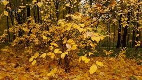 Foglie d'ingiallimento nel parco di autunno Fotografie Stock