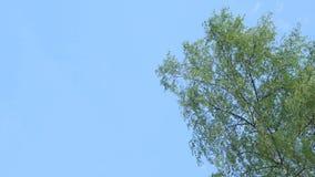 Foglie d'ondeggiamento dell'albero su fondo di cielo blu stock footage