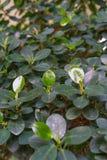 Foglie dalla moraceae del panda di ficus microcarpa, fico cinese Fotografia Stock