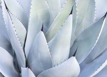 Foglie decorative sulla pianta di Vera dell'aloe Fotografia Stock Libera da Diritti