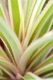 Foglie degli ananas Immagine Stock Libera da Diritti