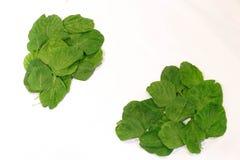 Foglie degli spinaci. Immagini Stock