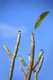 Foglie dei fiori di plumeria contro il cielo Fotografie Stock Libere da Diritti