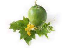 Foglie dei giovani del melone di inverno Fotografia Stock