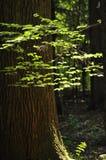 Foglie dei giovani, evidenziate il sole, nel legno Fotografia Stock