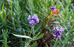 Foglie del angustifoliawith del Lavandula nel giardino immagine stock