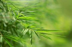 Foglie del bambù Fotografia Stock Libera da Diritti