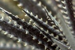 Foglie del cactus Fotografie Stock
