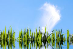 Foglie del cereale riflesse sull'acqua Immagini Stock Libere da Diritti