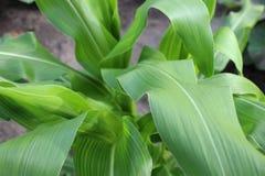 Foglie del cereale verde nell'iarda di estate Fotografia Stock Libera da Diritti