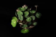 Foglie del crescione acquatico fotografia stock libera da diritti