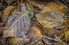 Foglie del faggio congelate Immagini Stock