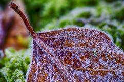 Foglie del faggio congelate Immagine Stock