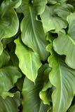 foglie del fiore della calla immagine stock libera da diritti