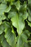 foglie del fiore della calla immagini stock