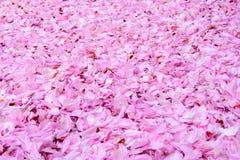Foglie del fiore della ciliegia da ogni parte di (prospettiva orizzontale) Fotografia Stock