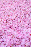 Foglie del fiore della ciliegia da ogni parte di (prospettiva verticale) Immagine Stock