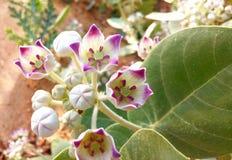 Foglie del fiore della pianta di Calotropis Immagine Stock Libera da Diritti