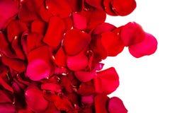 Foglie del fiore della rosa rossa isolate su fondo bianco valenti Fotografia Stock Libera da Diritti