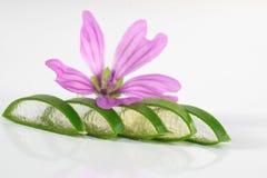 Foglie del fiore della strega dell'aloe Fotografia Stock Libera da Diritti