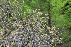 Foglie del fiore di tataricum di Acer nella primavera Immagini Stock