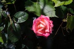 Foglie del fiore e dell'uva della rosa di rosa Fotografia Stock
