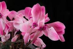 Foglie del fiore viola Fotografie Stock Libere da Diritti