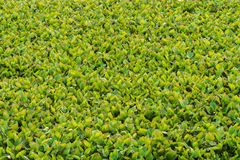 Foglie del giacinto nel lago Fotografie Stock