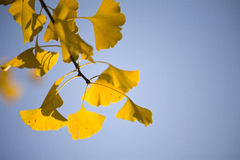 Foglie del ginkgo in autunno Fotografia Stock