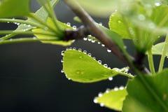 Foglie del ginkgo biloba con le gocce di pioggia Immagine Stock