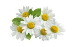 Foglie del gruppo del fiore della camomilla isolate su bianco Fotografia Stock