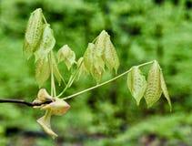 Foglie del hickory della corteccia del tessuto felpato che emergono in primavera Fotografia Stock Libera da Diritti
