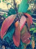 Foglie del mango che installano in primo luogo fotografia stock libera da diritti