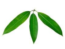Foglie del mango isolate su fondo bianco Fotografia Stock