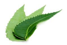 Foglie del neem di Ayurvedic Immagini Stock