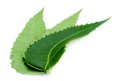 Foglie del neem di Ayurvedic Fotografia Stock Libera da Diritti