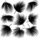 Foglie del nero del trachycarpus della palma Fotografia Stock