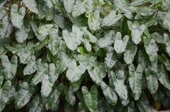 Foglie del Philodendron Fotografia Stock