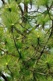 Foglie del pino Immagini Stock Libere da Diritti