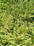 foglie del pino immagine stock libera da diritti