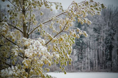 Foglie del pino del ramo di albero di inverno Fotografie Stock