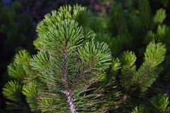 Foglie del pino Parco di Zaryadye contenuto foto a colori a Mosca Immagini Stock