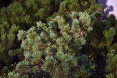 Foglie del pino Parco di Zaryadye contenuto foto a colori a Mosca Fotografia Stock