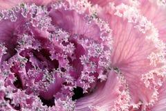 Foglie del primo piano di cavolo porpora ornamentale et del giorno soleggiato Fotografia Stock Libera da Diritti