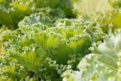 Foglie del primo piano di cavolo verde ornamentale al giorno soleggiato Fotografie Stock